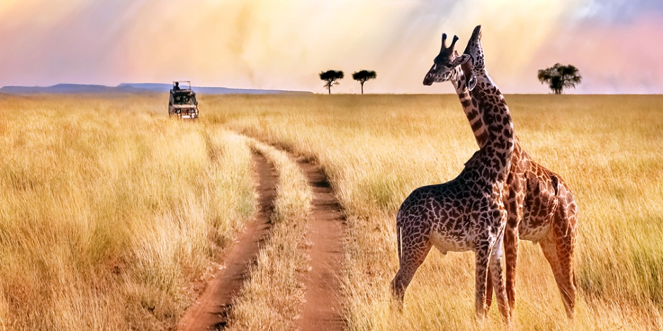 Couple-girafes-parc-Serengenti