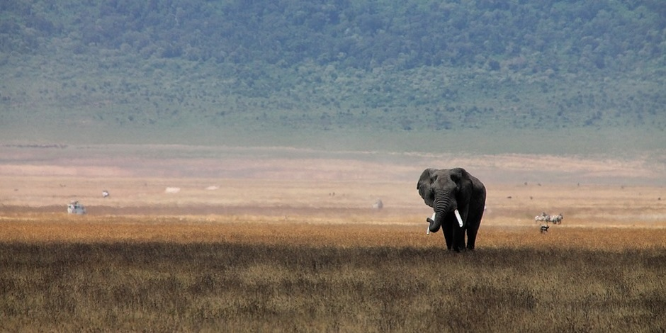 Elephant En Tanzanie