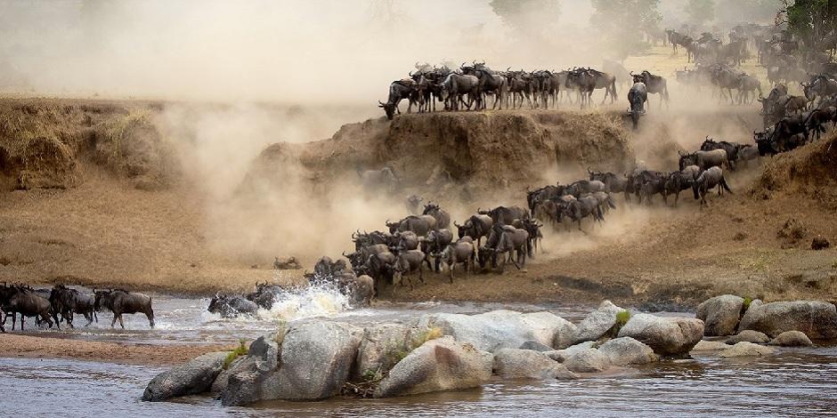 Migration Troupeau En Tanzanie