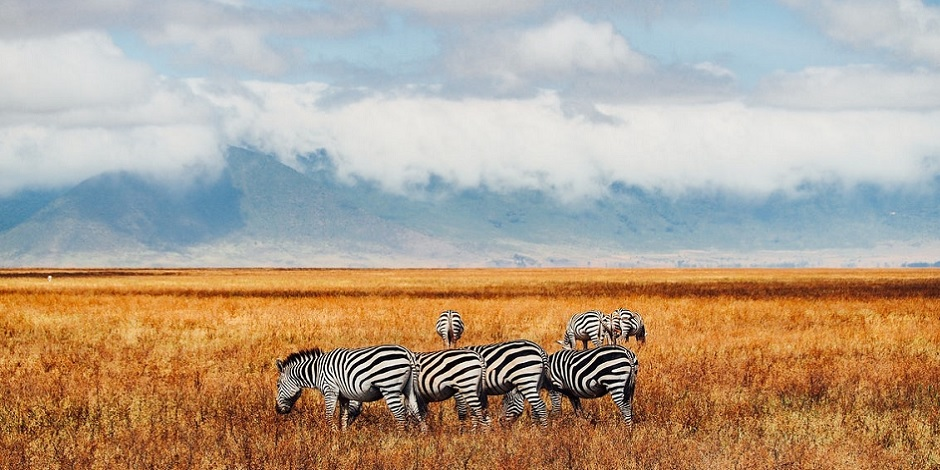 Zèbres au Ngorongoro -Tanzanie