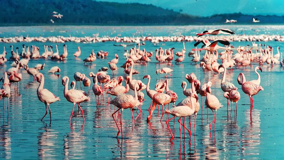 Flamants roses sur le Lac Nakuru