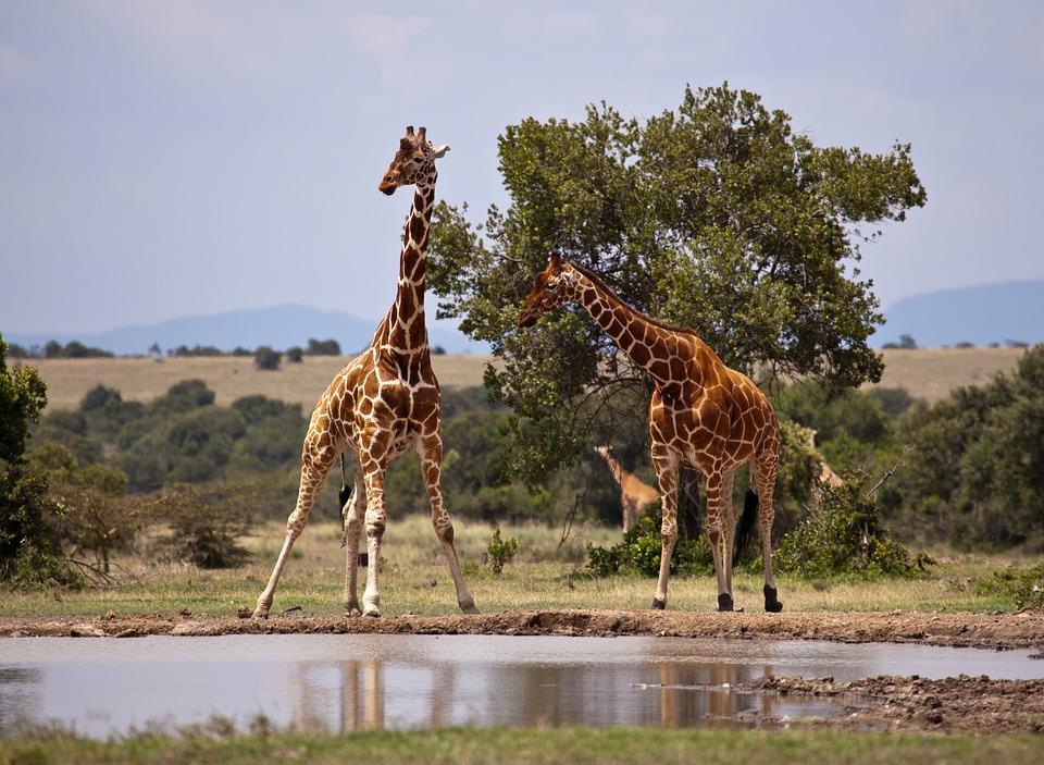 Girafe dans la Réserve